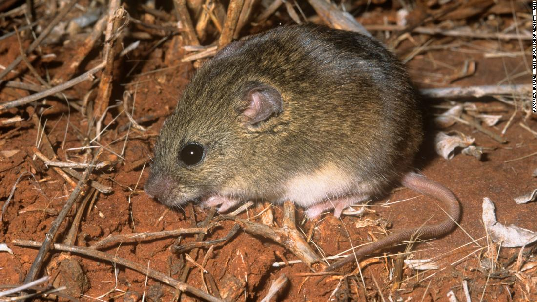 The northern short-tailed mouse, a nocturnal species with a shorter than usual tail, is sparsely distributed across Australia.