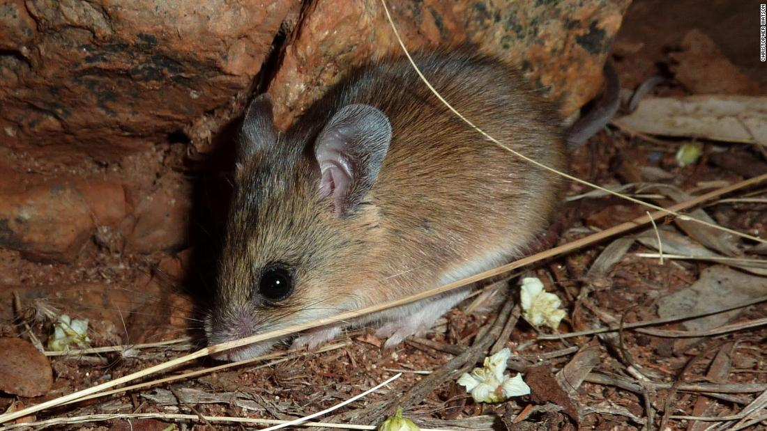 The sandy inland mouse lives on seeds and the occasional green plant in the arid and semi-arid zones of inland Australia.