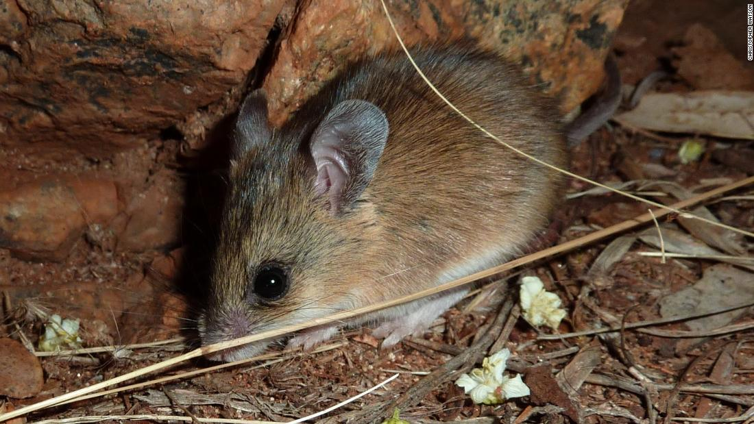 Before Humans Australia Was Colonized By Rats Cnn