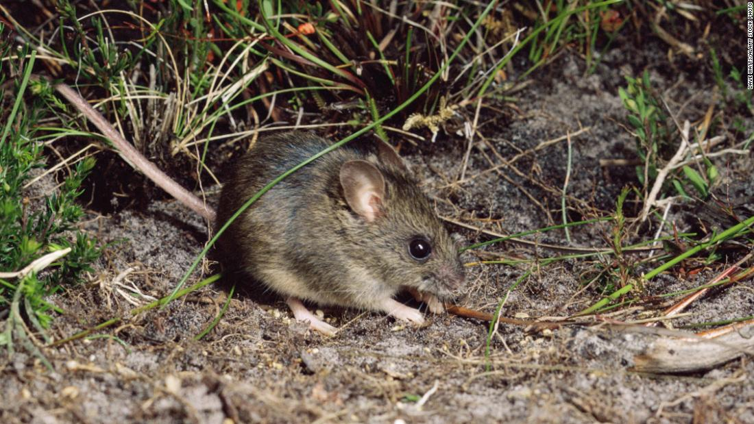 The New Holland mouse, which is similar in size and appearance to the house mouse, inhabits open heathlands, woodlands and forests.