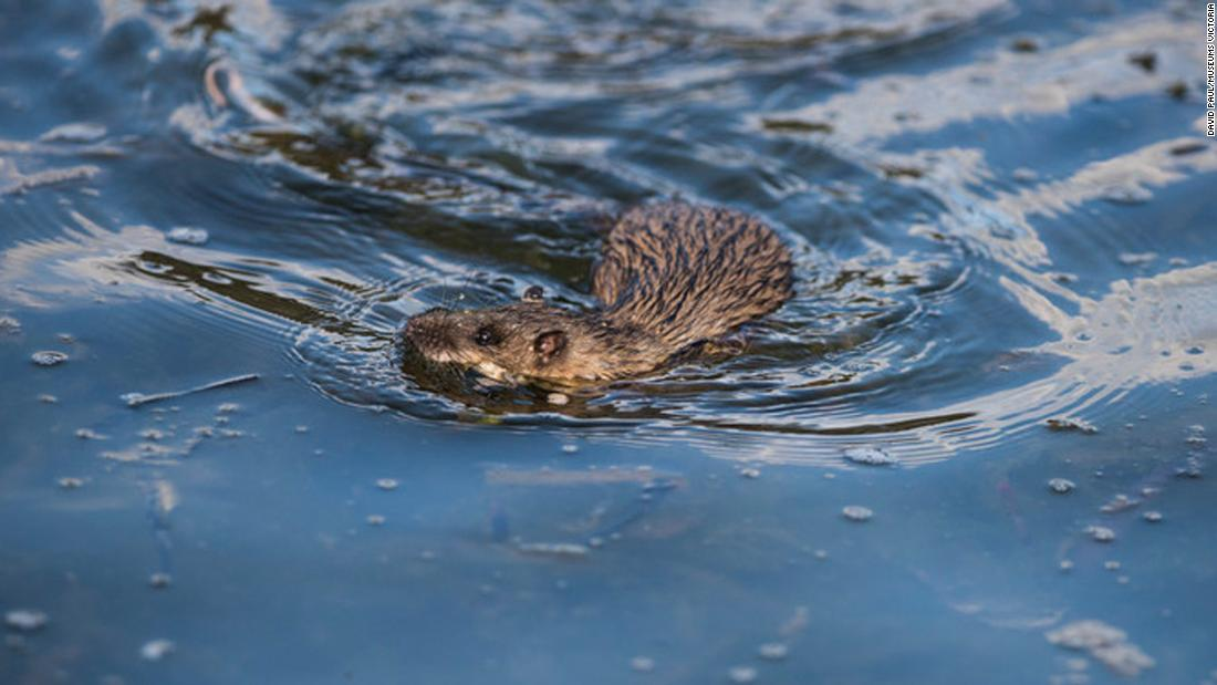 Water rats have partially webbed hind-feet, water-repellent fur and abundant whiskers. They occupy freshwater habitats such as streams and lakes, where they feed on crustaceans, aquatic insects and fish.