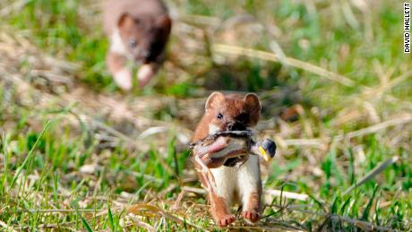 A stoat taking a penguin chick in New Zealand. Stoats are one of the main predators for kiwis.