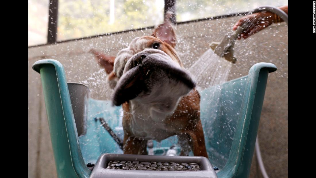 Bobo the bulldog takes a shower at The Wagington, a luxury pet hotel in Singapore, on Wednesday, December 6.
