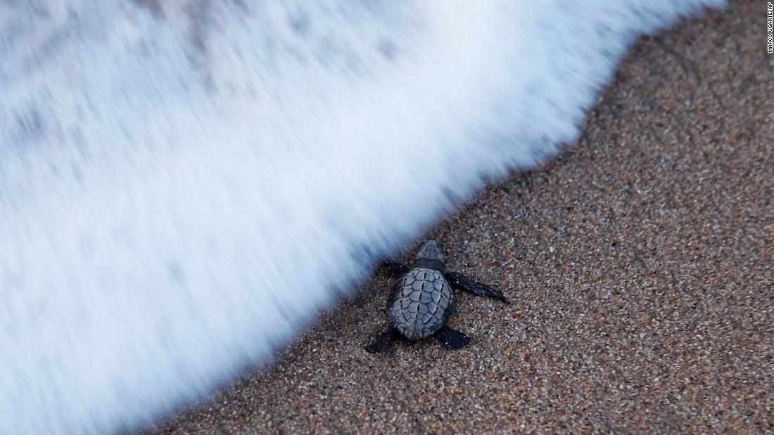 A young olive ridley sea turtle walks to the sea for the first time in Sayulita, Mexico, on Saturday, December 2.