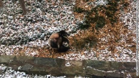title: 🐼❤️❄️ #MeiXiang's on a roll! She had some fun in the snow this morning. #PandaStory   Read more about our animals in the snow... duration: 00:00:35 site: Facebook author: null published: Wed Dec 31 1969 19:00:00 GMT-0500 (Eastern Standard Time) intervention: no description: null
