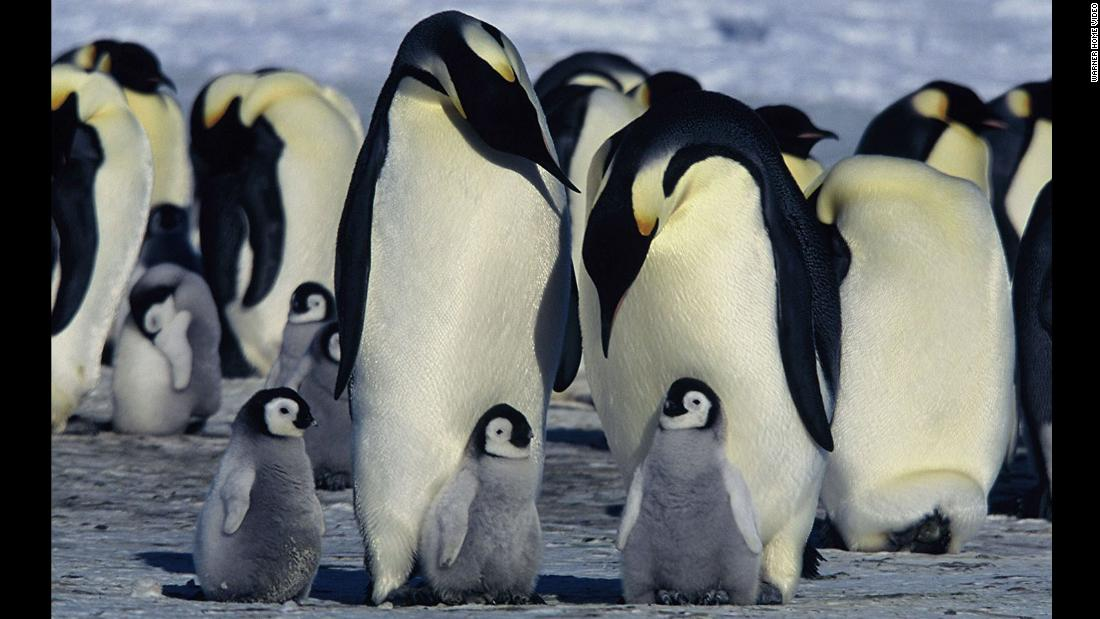 "The emperor penguin, the modern giant of these birds -- as depicted here in the 2005 documentary ""March of the Penguins"" -- weighs about 55 pounds on average and is, at most, about 4 feet tall."