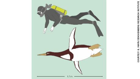 "Ancient penguins were 5'10"" at swimming length and weighed about 223 pounds."