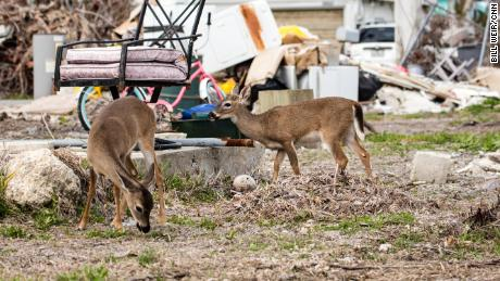 Keys' deer population plummets after Irma