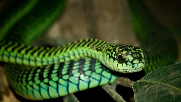 The boomslang is known as a shy species but is one of the most venomous in Africa, leading to massive bleeding and death.