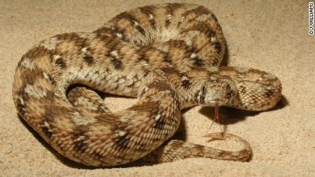 Carpet vipers are Nigeria's deadliest snakes.