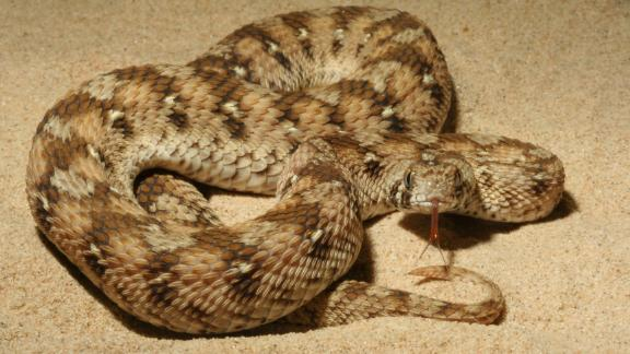 Family of snakes that are responsible for thousands of deaths in sub-Saharan Africa. Their venom attacks the blood, preventing clotting and causing haemorrhages.