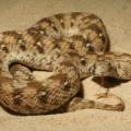 West African carpet viper