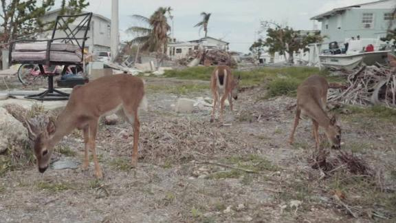 hurricane irma endangered deer population florida keys weir_00002606.jpg