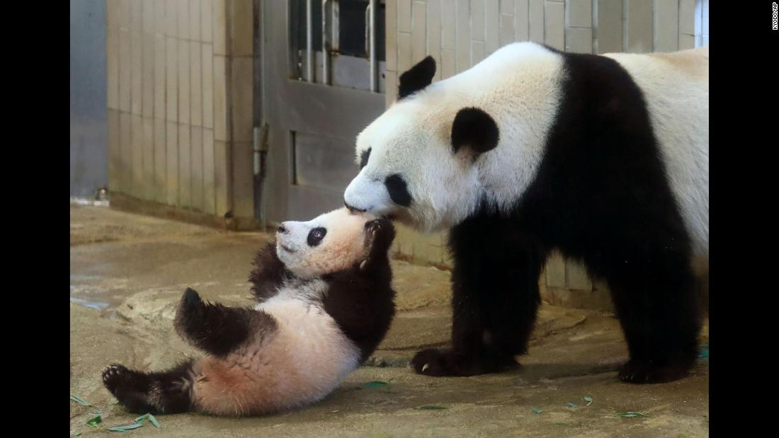Xiang Xiang is pulled by her mother, Shin Shin, at Ueno Zoo in Tokyo on  Tuesday, December 19. Xiang Xiang, a 6-month-old giant panda, made her debut Tuesday in a limited public viewing for avid fans who obtained tickets through a highly competitive lottery process.