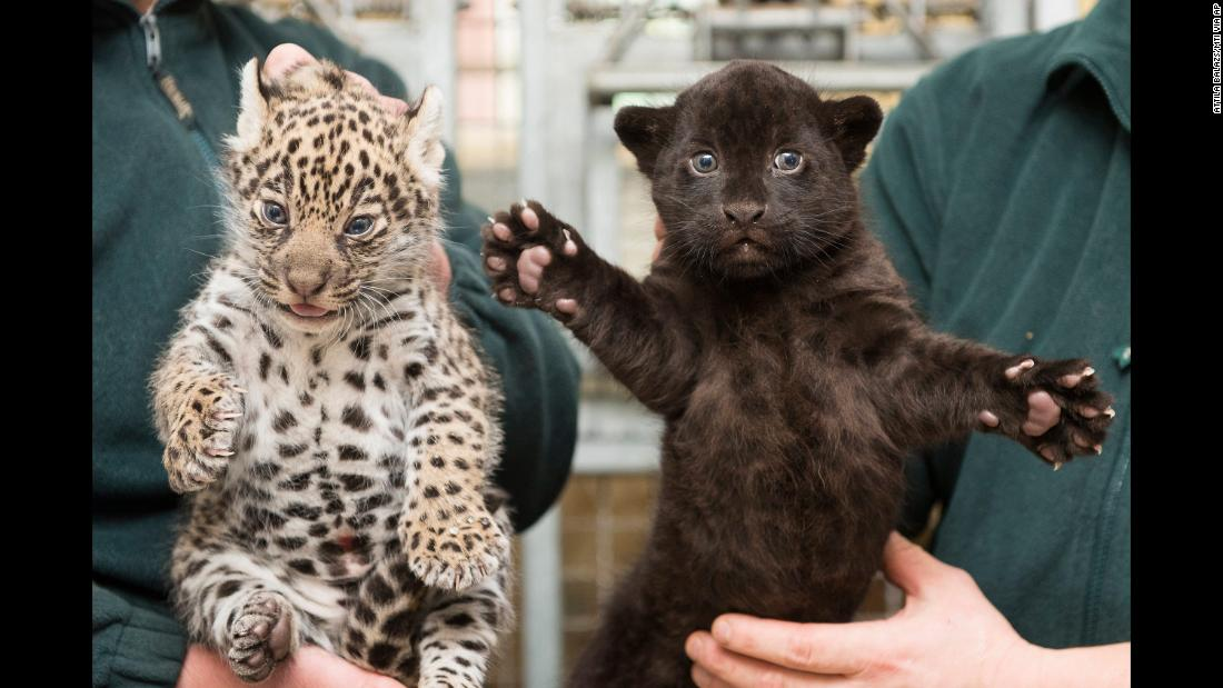 One-month-old jaguar twin cubs are presented to the media for the first time at the zoo in Nyiregyhaza, Hungary, on December 25.