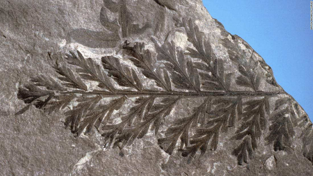 Scientists have since uncovered further evidence of plant life on the continent, including this fossilized fern from the British Antarctic Survey (BAS) fossil collection.