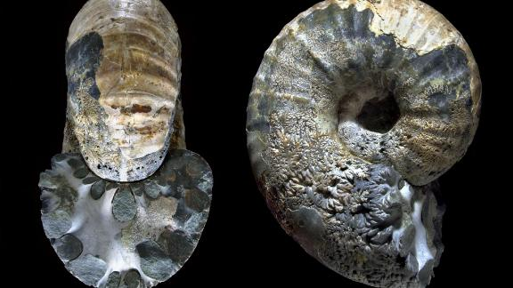 The BAS fossil collection contains approximately 40,000 fossil specimens from Antarctica, including ammonites (pictured) dating back to the Cretaceous period. Both ammonites and dinosaurs disappeared during the same extinction event.
