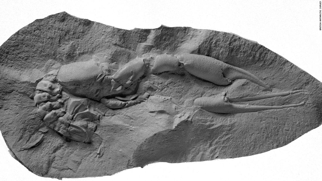 Subsequent expeditions to the Antarctic Peninsula have unearthed hundreds of amphibian and reptile fossils. This lobster fossil (Hoploparia stokesi) from the BAS fossil collection was found in the Upper Cretaceous (100.5 - 66 million years ago) when the dinosaurs disappeared from the Earth.