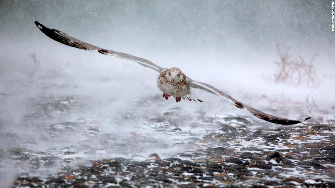 A seagull takes flight in Hull, Massachusetts, on January 4.