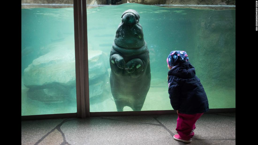 A child watches a baby hippopotamus swim at the Berlin Zoo on Monday, January 1.