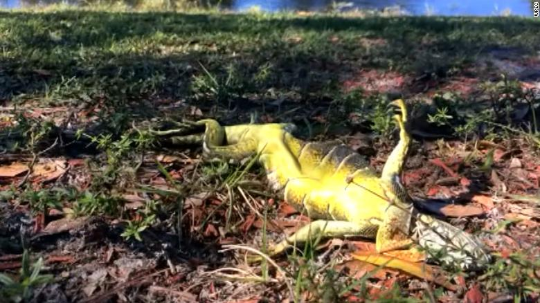 Frozen iguanas fall out of trees in Florida