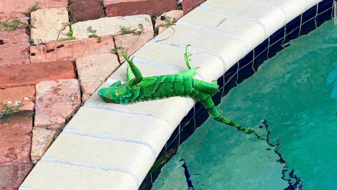 The cold is causing frozen iguanas to fall from trees in Florida – Trending Stuff