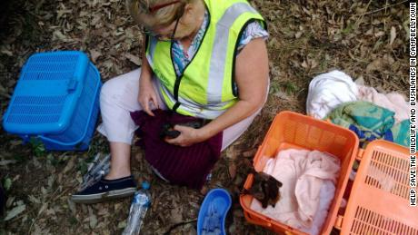A wildlife-rescue volunteer tends to a heat-stricken bat.