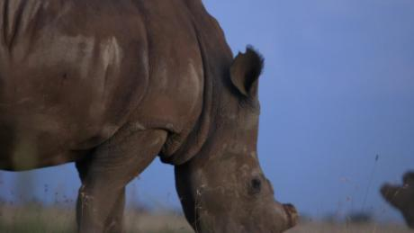 Breeder: 'I cannot give up' on saving rhinos