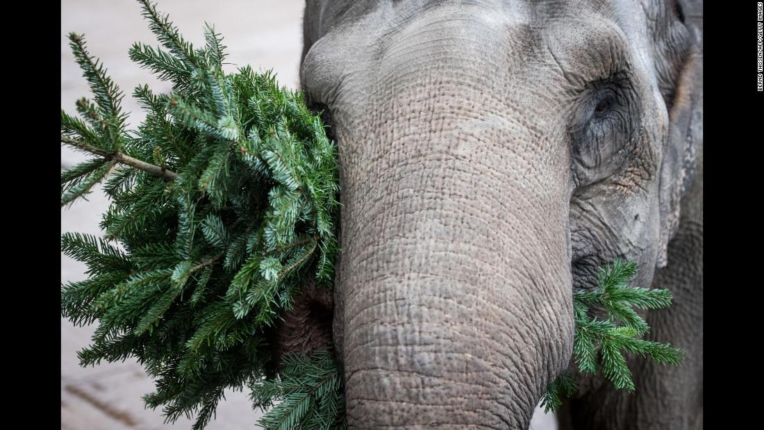Rada the elephant plays with a Christmas tree at a zoo in Munster, Germany, on Friday, January 5.