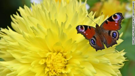Butterflies are older than flowers, says a new study
