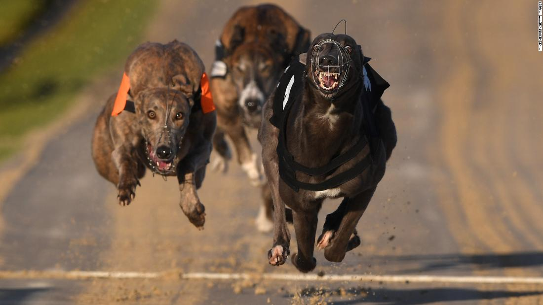 Dogs speed down the track during a race on January 10 in Brighton, England.