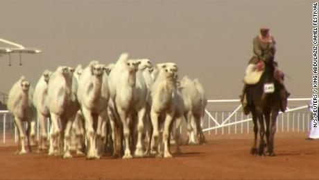 Amid rapid changes to modernise, Saudi Arabia holds an annual camel beauty pageant to promote one of its most defining cultural symbols.