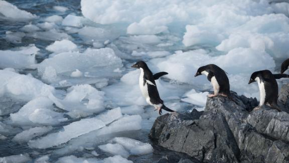 Adélie penguins in Hope Bay on Trinity Peninsula, Antarctica.