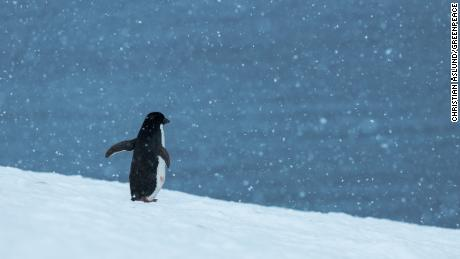 An Adélie penguin  Hope Bay on Trinity Peninsula, Antarctica.