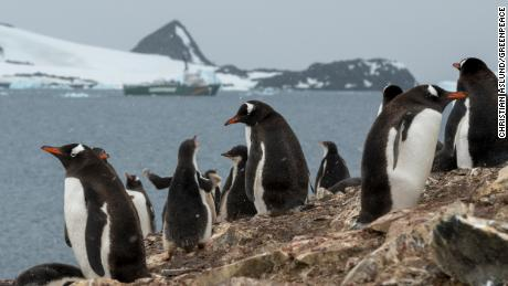 Gentoo penguins in front of Greenpeace ship the Arctic Sunrise in Hope Bay on Trinity Peninsula, Antarctica.