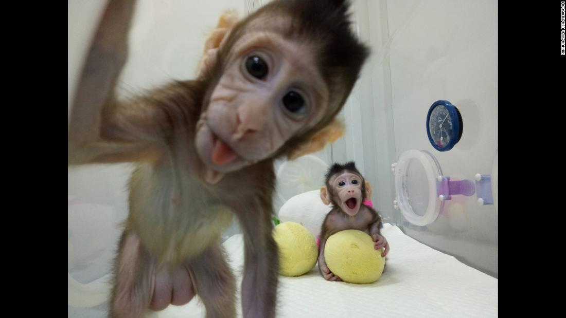 "Two cloned long-tailed macaques named Zhong Zhong and Hua Hua are seen at the Chinese Academy of Sciences' nonhuman primate research facility in Beijing on Saturday, January 20. For the first time, <a href=""http://www.cnn.com/2018/01/24/health/cloned-monkeys-study/index.html"" target=""_blank"">scientists say they created cloned primates</a> using the same complicated cloning technique that made <a href=""http://dolly.roslin.ed.ac.uk/facts/the-life-of-dolly/index.html"" target=""_blank"">Dolly the sheep in 1996</a>."