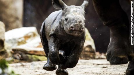 A rhino baby, not yet named, walks outside for the first time with her mother Naima at Blijdorp Zoo in Rotterdam on January 4, 2018.  The rhino baby was born on December 23, 2017. / AFP PHOTO / ANP / Remko de Waal / Netherlands OUTREMKO DE WAAL/AFP/Getty Images