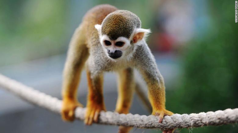 Fda reviewing animal studies in wake of monkey deaths cnn the fda terminated a nicotine study on squirrel monkeys after four monkeys died voltagebd Choice Image