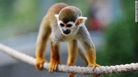 The FDA terminated a nicotine study on squirrel monkeys after four monkeys died.