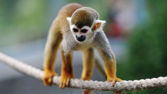 FDA has terminated a nicotine study on squirrel monkeys after four monkeys died.