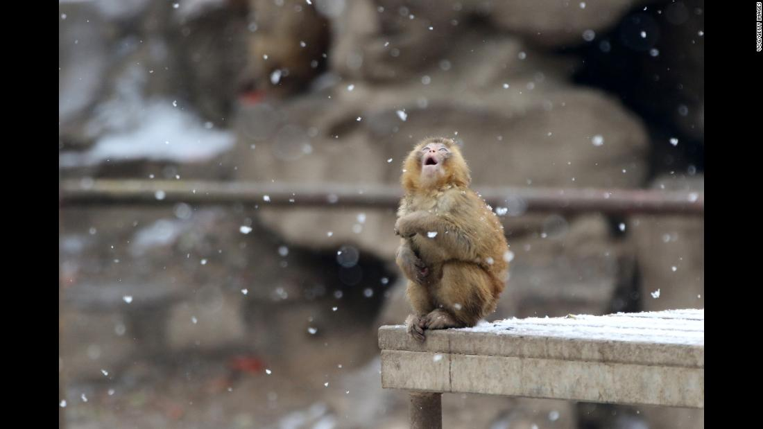A rhesus monkey looks at snow at China's Zhengzhou Zoo on Saturday, January 27.