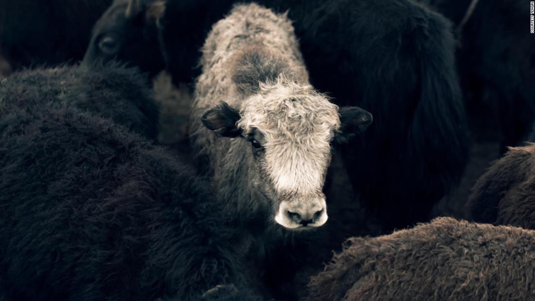Johnston has been helping herders switch to producing yak wool, and using their yak wool for her high-end British knitwear label Tengri. She says yak wool is soft and warm, and that the animal is less damaging to the environment.