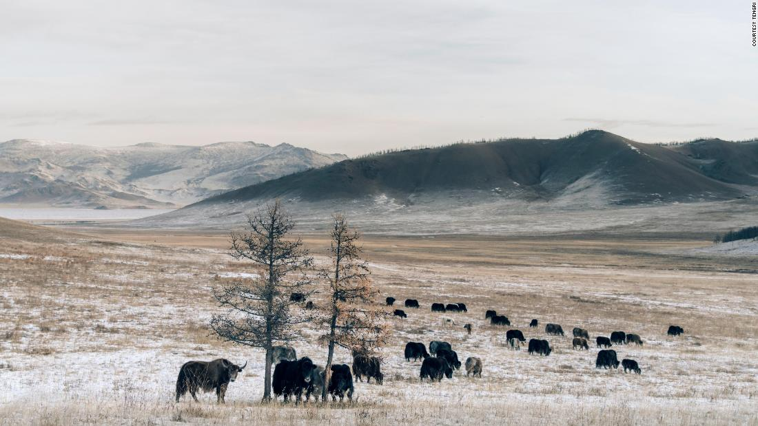 Nancy Johnston came across the Khangai yak when she was holidaying in Mongolia. She formulated a plan to use the yak to help preserve Mongolia's landscape.<br />