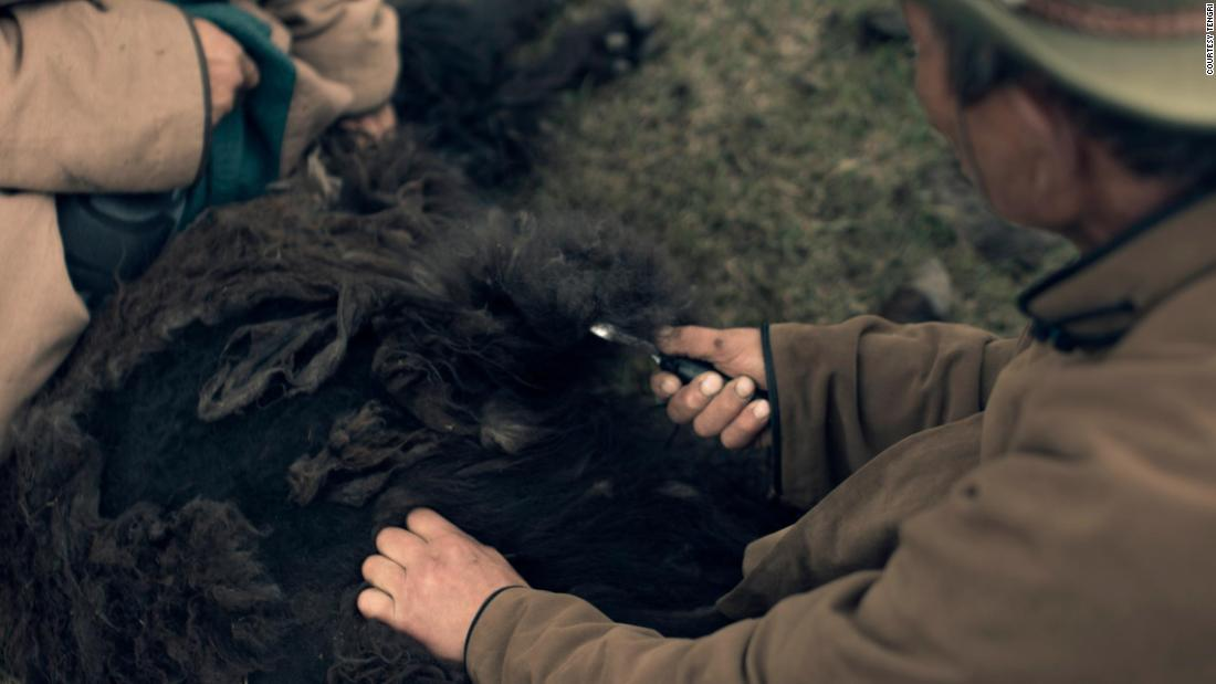 Each year, yaks produce a soft, fine undercoat -- or down hair -- during the winter.