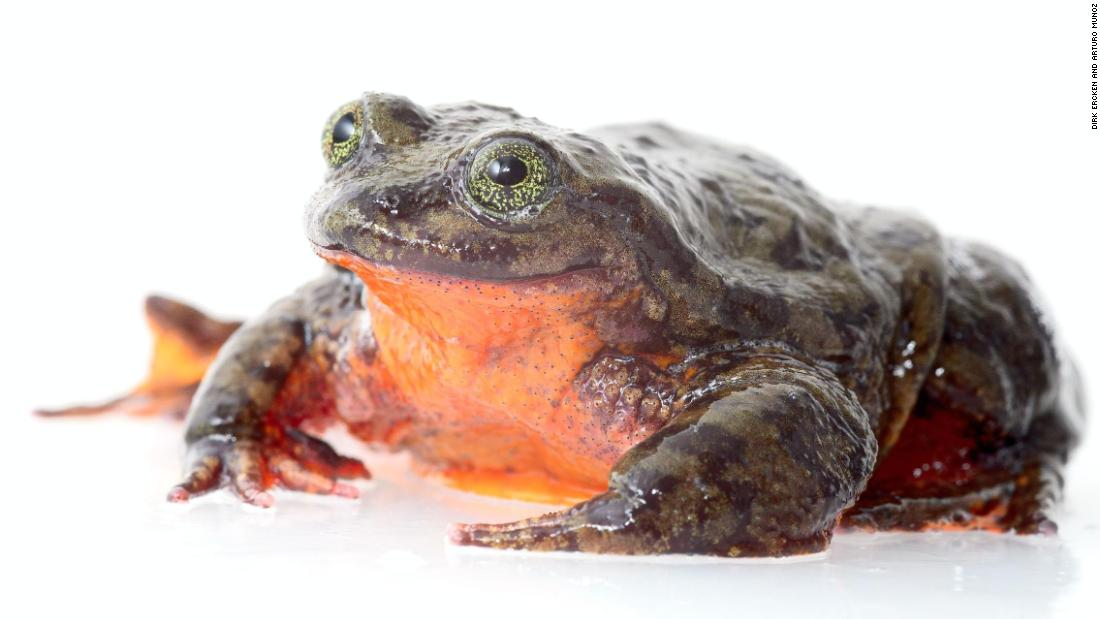 He's spent 10 years alone. Now Romeo, the world's loneliest frog, may have finally found a Juliet that can save his species