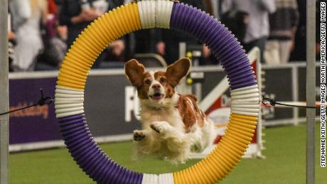 NEW YORK, NY - FEBRUARY 10: A dog competes in the Masters Agility Championship during the Westminster Kennel Club Dog Show on February 10, 2018 in New York City. TBest in show at the 142nd Westminster dog show will be awarded at the end of the competition on Tuesday, February 13. (Photo by Stephanie Keith/Getty Images)