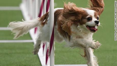 westminster dog show a brief history cnn