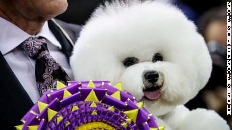 NEW YORK, NY - FEBRUARY 13: Best in Show winner Flynn, a Bichon Frise, poses for photos at the conclusion of the 142nd Westminster Kennel Club Dog Show at The Piers on February 13, 2018 in New York City. The show is scheduled to see 2,882 dogs from all 50 states take part in this year's competition. (Photo by Drew Angerer/Getty Images)