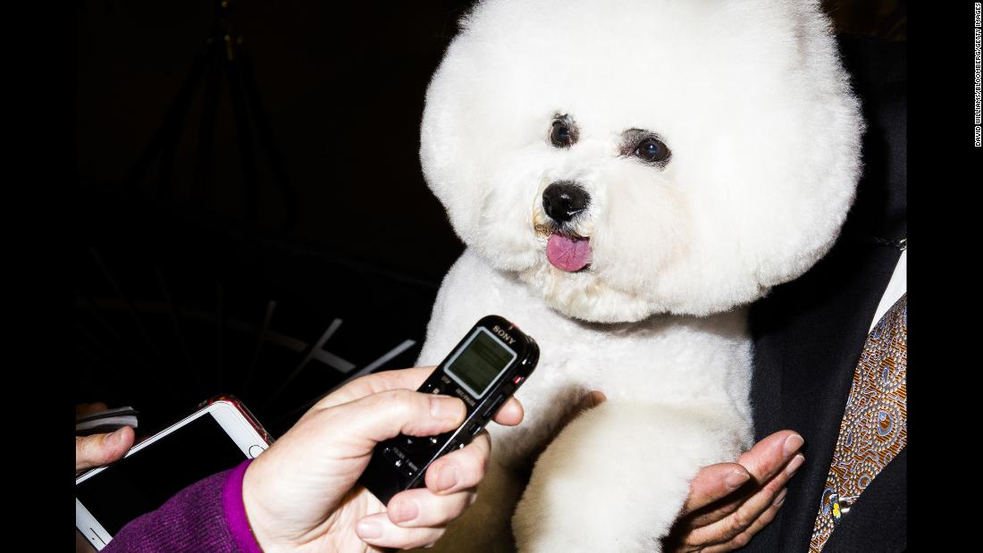 "A bichon frisé is held backstage at the 142nd <a href=""https://www.cnn.com/videos/world/2018/02/13/westminster-dog-show-2018-lon-orig-bks.cnn"" target=""_blank"">Westminster Kennel Club Dog Show</a> in New York on Monday, February 12."