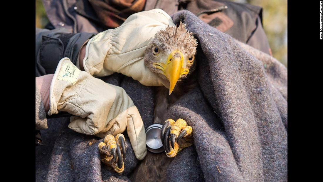 A sea eagle is examined in the Eekholt wildlife park before being released into the wild in Grossenaspe, Germany, on Friday, February 9.